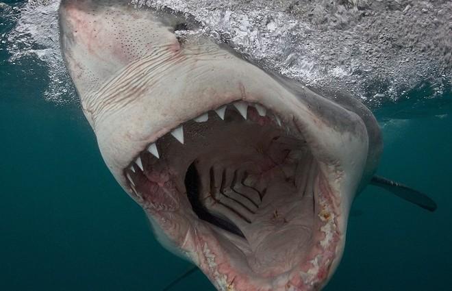 Небезпечний фотопроект: американський фотограф представив страшні знімки білих акул (фото)
